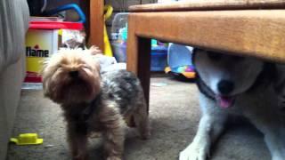 Siberian Husky Vs Yorkie Terrier