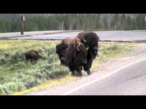 Yellowstone bison rams a minivan.m4v