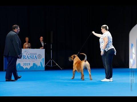 Преса Канарио / Канарский дог Евразия 2019. Лучшая собака 2 группы.