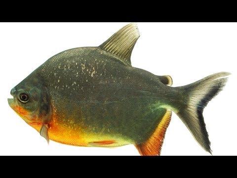 Comportamento Alimentar dos Peixes - Curso Nutrição e Alimentação de Peixes
