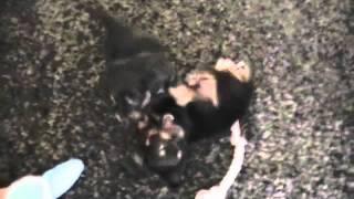 Dachshund  X Chihuahua