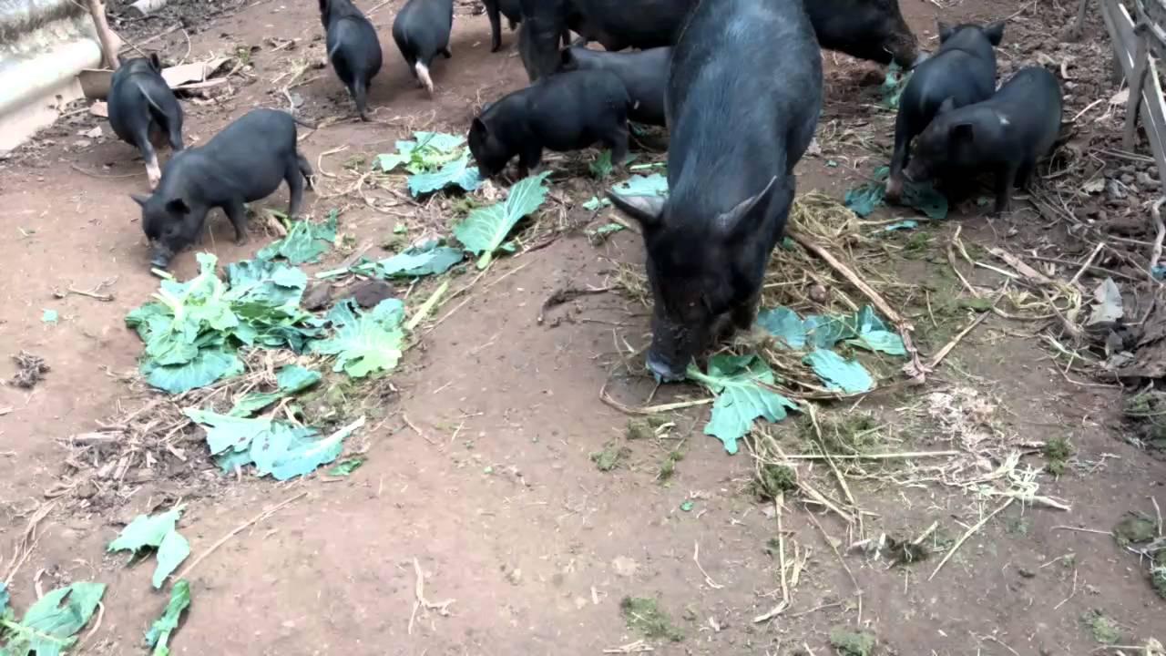 Kết quả hình ảnh cho lợn cắp nách
