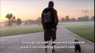 2 Week Board & Train Video Boston Terrier Blue Heeler At Cincinnati Dog Trainers Off Leash K9