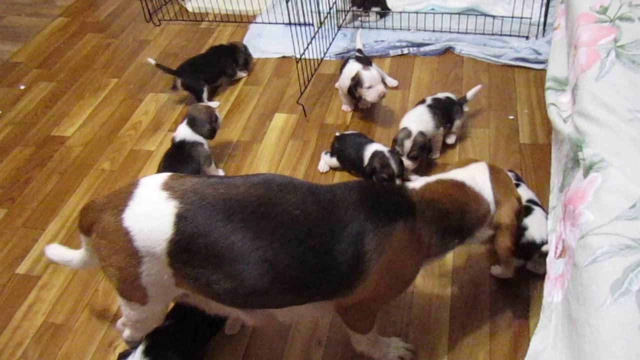 Вест-хайленд-уайт-терьер (west highland white terrier) средние цены на щенков в питомниках, питомники и заводчики, статьи и рекомендации заводчиков, продажа. Мы занимаемся разведением собак пород вест хайленд уайт терьер и джек рассел терьер. Саратов, 89085556004: 8( 8452)656558.
