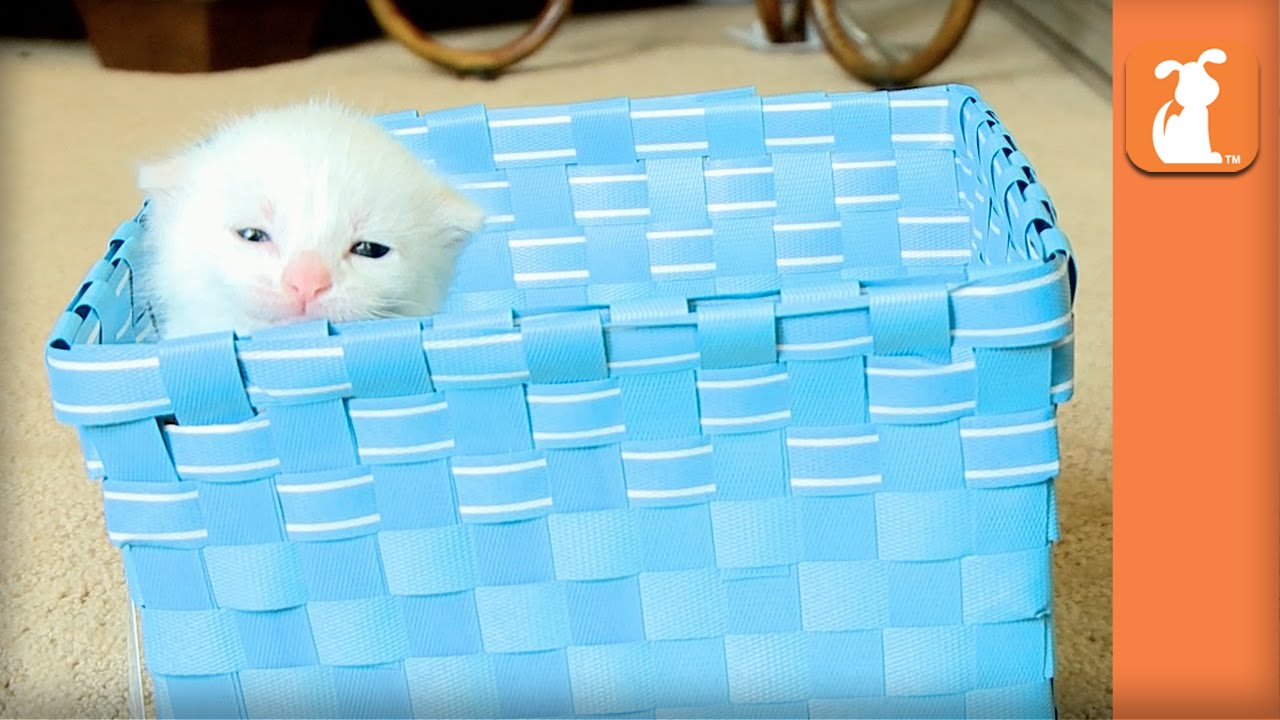 Fluffy Baby Kitten In A Blue Basket - Kitten Love