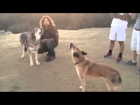 Willow the wolf & Blue get their howl on & a puppy taboot