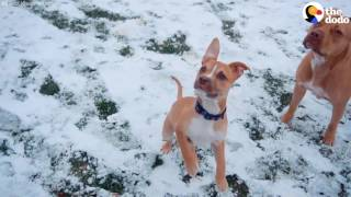 Rescued Pit Bulls Play In The Snow