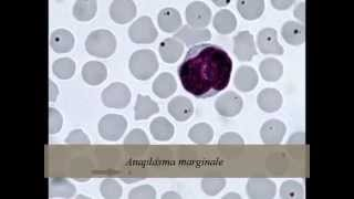 Parasitologia Animal - Babesiose e Anaplasmose