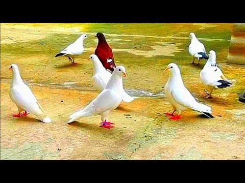 Вопрос: Почему человек боится голубей?