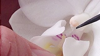 Orchid pollination : How to Hand pollinate Phalaenopsis Orchid flowers in the Greenhouse part 2
