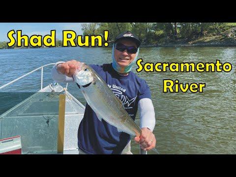 Shad Fishing Report Sacramento River | #Shad Fishing From A Boat Easy Setup