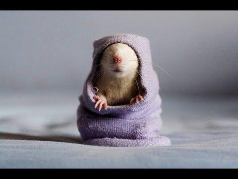 Как назвать крысу Клички для грызунов Советы для владельцев крыс  Clicks for rodents
