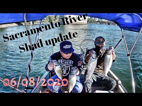 Sacramento River Shad Fishing Update (06/08/202)