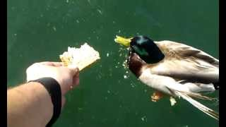 Most Angry Duck Ever