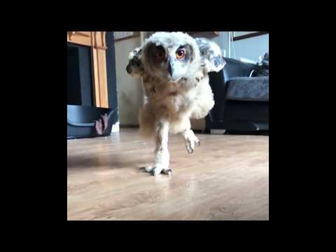 Baby Rex running for food! | Eurasian Eagle Owl