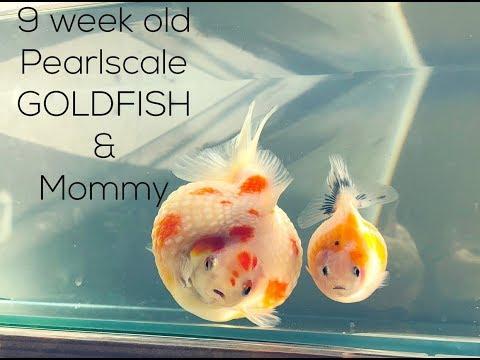 9 WEEK OLD PEARLSCALE GOLDFISH