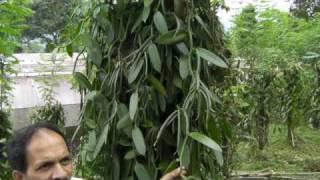 バニラビーンズの木.