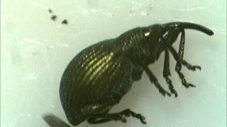 Gambar cover Tanatosis en apionidae