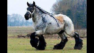 Cамые большие лошади в мире!!!(http://like-cupon.ru - магазин купонов раскрутки соцсетей и голосов!!! ДЕШЕВО! http://zismo.biz/topic/540500 Обмен Эл.валют ! ГАрант..., 2014-01-11T10:17:04.000Z)