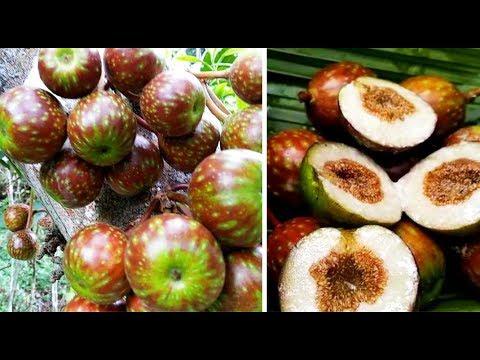 Buah Hutan | Makan buah Gondang, Buah langka hutan tropis Indonesia