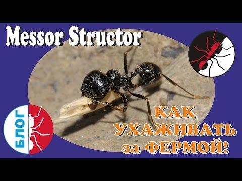 Муравьиная ферма. Как ухаживать за муравьями. Messor structor