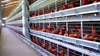 Canggih!!! Kandang Ayam Modern Ini Bikin Kamu Pengen Berternak Dirumah