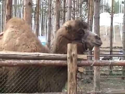 Как плюются верблюды видео