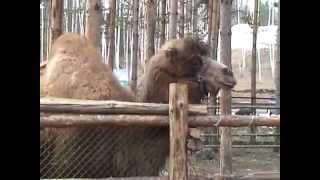 верблюд плюнул два раза!!!