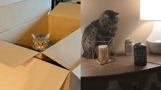CUTE AMERICAN BOBTAIL CAT MOMENTS