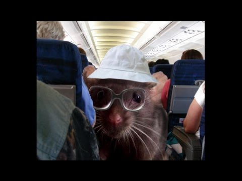 The Guy From Pittsburgh.  Episode # 650.  Rat on plane makes Air Berlin plane stop flying !