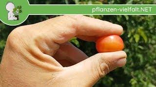 """Kirschpflaume - Früchte """"rot/rötlich"""" - 27.06.17 (Prunus cerasifera) - Bäume (Früchte) bestimmen"""