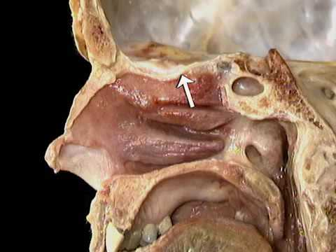 4-8-1 Olfactory and optic nerves (cranial nerves I, II)