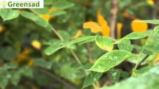 Бундук двудомный (Кофейное дерево) - видео-обзор от Greensad(Бундук -- это лиственное дерево с немного изогнутым столбом (обычно многоствольный). Кора морщинистая и..., 2013-10-07T19:13:19.000Z)