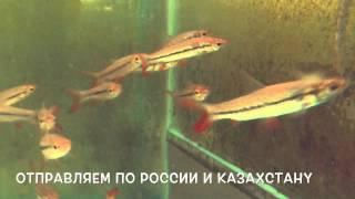 Лептобарбус Хэвени  Leptobarbus hoevenii аквариумные рыбки Ховена(Лептобарбус Хэвени Leptobarbus hoevenii http://zoomix-opt.ru/leptobarbus-heveni-ru.html Лептобарбус Ховена, или золотая акула, рыба из..., 2015-09-19T06:46:02.000Z)
