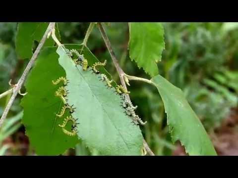 "Sawfly larvae ""flipping"""
