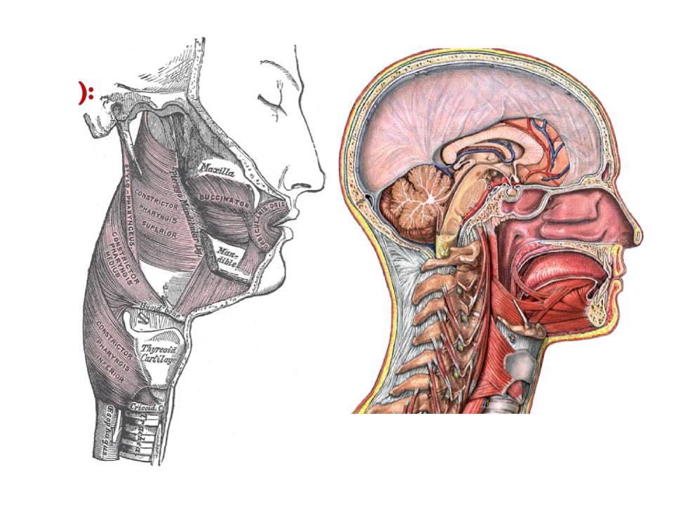 Anatomie Image anatomie anatomie du pharynx - youtube