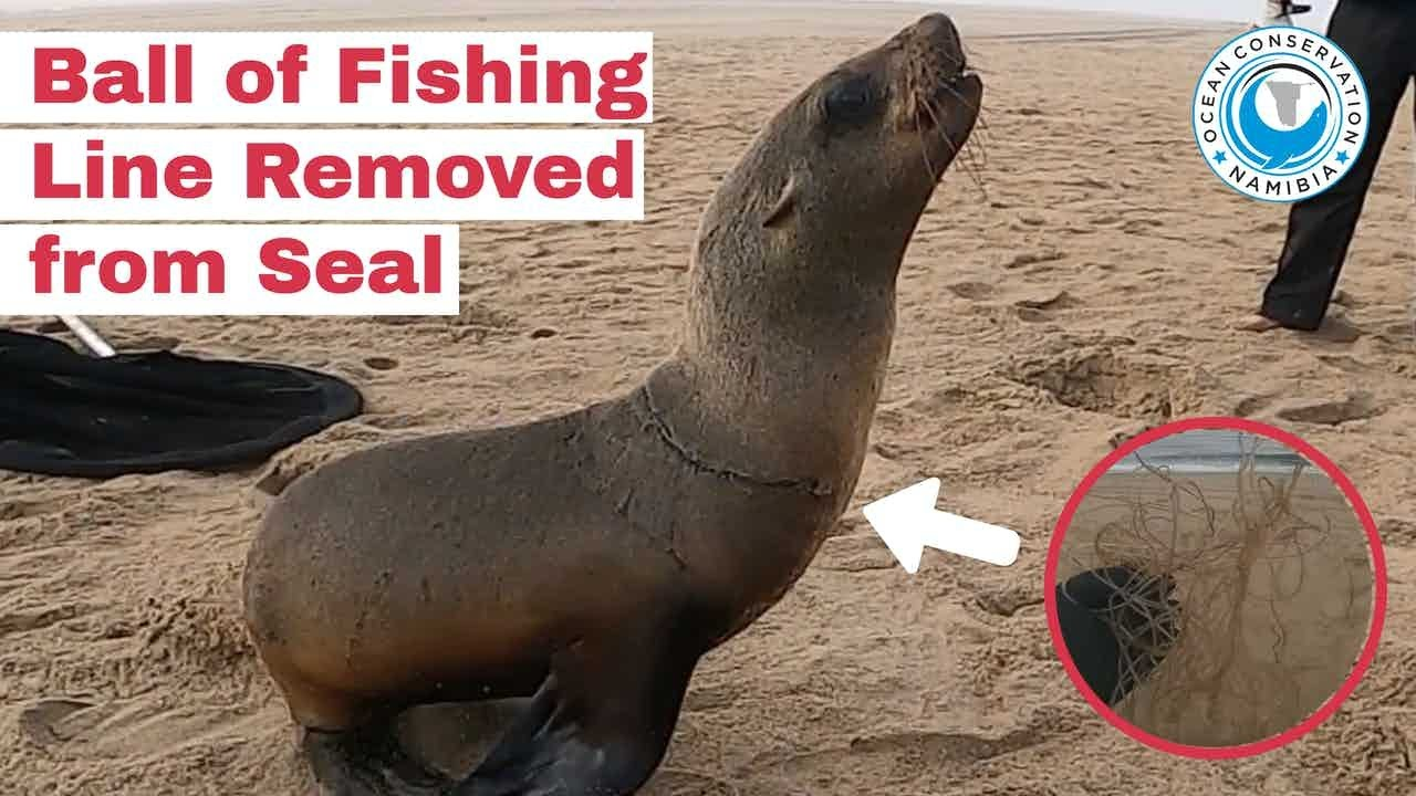 Ball of Fishing Line Removed From Seal