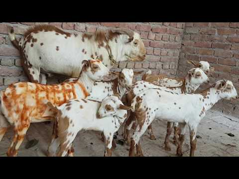 Breeder Barbari and Kids At Barbari Goat Farm Mathura  - YouTube