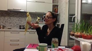 Приручение кореллы попугая Кеши (самка - установлено позже) Кольцо на лапке