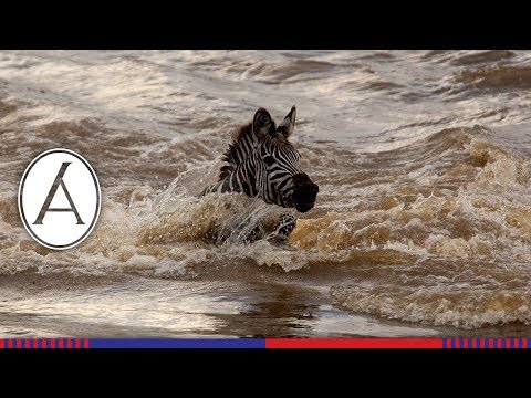 Dramatic Zebra Migration Crossing