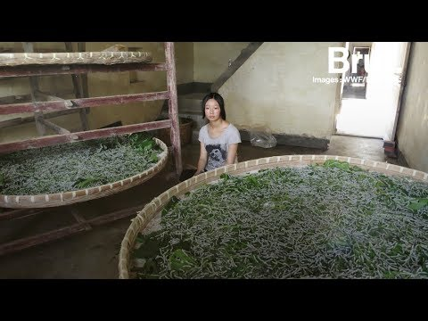 e4e0b15a3f7e Comment est fabriquée la soie   - YouTube