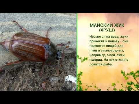 «Живая азбука». Майский жук