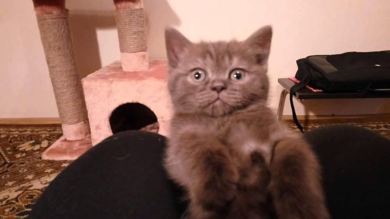 Маленький шоколадно-дымчатый британский котёнок Пиоша, возраст 1,5 .