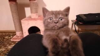 Маленький шоколадно-дымчатый британский котёнок Пиоша, возраст 1,5 месяца