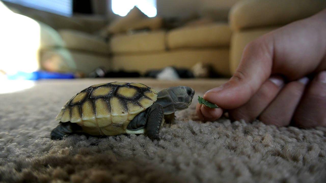 Baby Desert Tortoise - YouTube