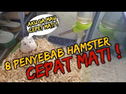 Cara Merawat Hamster Campbell Yang Baru Melahirkan Bisabo Channel