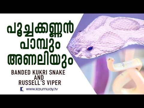 Wow ! Vava Suresh Caught Banded kukri snake & Russell's Viper | Snake Master