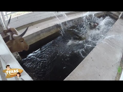 Texas Chronicles : Have you ever seen a cow take a bath?