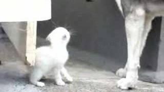 Husky & Kitten