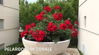 Pelargonium zonale. Garden Center online Costa Brava - Girona.(Pelargonium zonale. Garden Center online Costa Brava - Girona. Web: http://personalgardenshopper.es/, 2014-05-28T22:04:54.000Z)